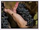 ジェニファ 葡萄