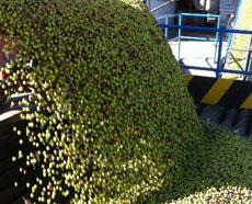 収穫から12時間以内に圧搾