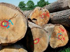 マジックカスクの原料になる樫の木